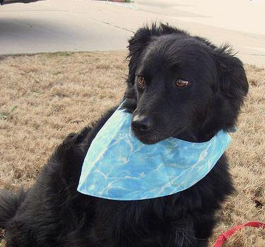 Black dog wearing reversible bandana sewing pattern